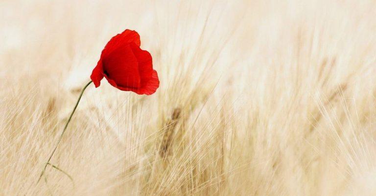 A lone poppy in a field