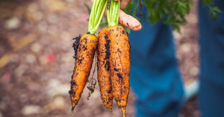 carrots fresh from a garden